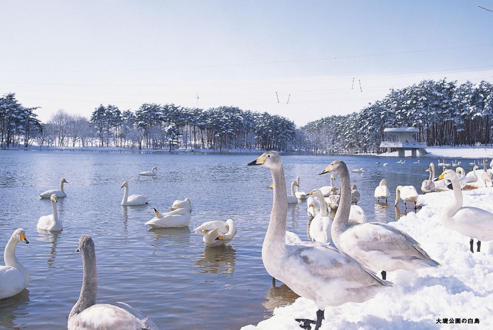 白鳥(大堤公園の白鳥)